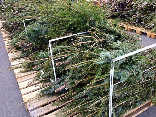 クリスマスツリー用の木